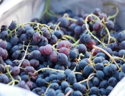 Automatiza tu recepción de uva en bodega con la maquinaria más avanzada
