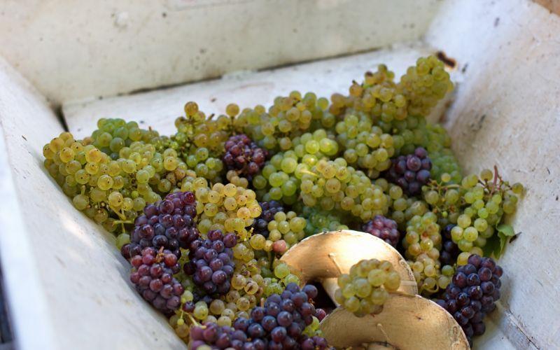 elaboració de vi després de veremar